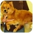 Photo 2 - Finnish Spitz Dog for adoption in Osseo, Minnesota - Max