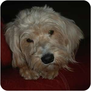 Wheaten Terrier Mix Dog for adoption in Phoenix, Arizona - Harpo