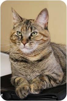 Domestic Shorthair Cat for adoption in Baton Rouge, Louisiana - Cali