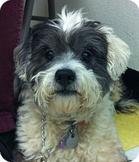 Terrier (Unknown Type, Small) Mix Dog for adoption in Studio City, California - Shilo