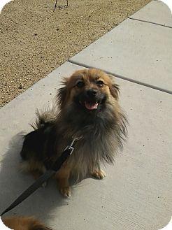 Pomeranian Dog for adoption in Las Vegas, Nevada - Mini
