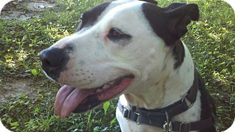 American Pit Bull Terrier Mix Dog for adoption in Dundas, Virginia - Bella
