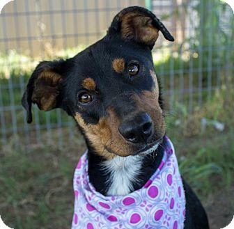 Miniature Pinscher/Terrier (Unknown Type, Medium) Mix Dog for adoption in Pilot Point, Texas - GINGER