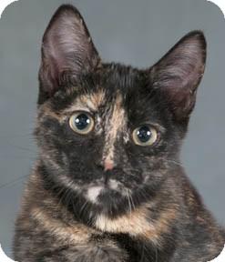 Domestic Shorthair Kitten for adoption in Chicago, Illinois - Raquel