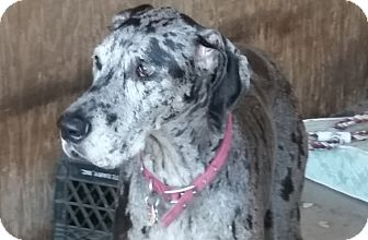 Great Dane Dog for adoption in Jupiter, Florida - Sierra