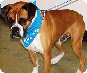 Boxer Dog for adoption in Oswego, Illinois - I'M ADOPTED Sammy Talbot :)