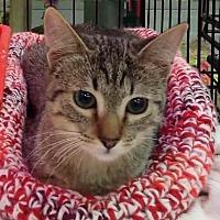 Domestic Shorthair Cat for adoption in Sacramento, California - Hannah