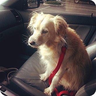 Cocker Spaniel/Sheltie, Shetland Sheepdog Mix Dog for adoption in Yorba Linda, California - Ginger- I like cats!