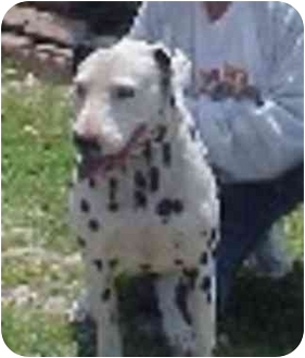 Dalmatian Dog for adoption in West Los Angeles, California - Mickey