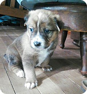 Chihuahua/Boston Terrier Mix Puppy for adoption in Laingsburg, Michigan - Pumba
