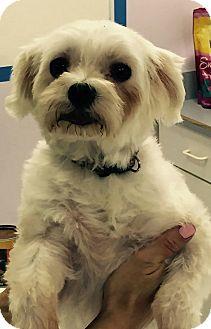 Maltese Dog for adoption in Scottsdale, Arizona - Bella
