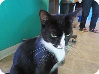 Domestic Shorthair Cat for adoption in Coos Bay, Oregon - Jordan