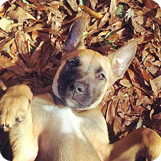 Black Mouth Cur/Catahoula Leopard Dog Mix Puppy for adoption in Charlotte, North Carolina - Sara