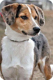 Catahoula Leopard Dog/Collie Mix Dog for adoption in Fort Leavenworth, Kansas - Ben-Adoption Pending