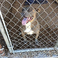 Pit Bull Terrier Mix Dog for adoption in Post, Texas - Otis