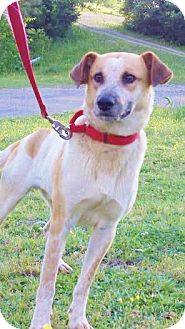Blue Heeler/Australian Shepherd Mix Dog for adoption in Snohomish, Washington - Ryder, awesome aussie mix!