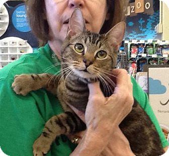 Domestic Shorthair Cat for adoption in San Antonio, Texas - Mickey