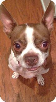 Boston Terrier Mix Dog for adoption in Winterville, North Carolina - Hamlet