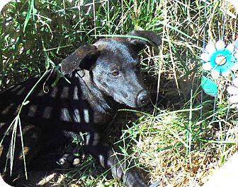 Labrador Retriever Mix Puppy for adoption in Olympia, Washington - Simba