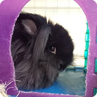 Lionhead Mix for adoption in Williston, Florida - Kenya