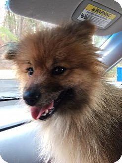 Pomeranian Mix Dog for adoption in Hagerstown, Maryland - Shiah