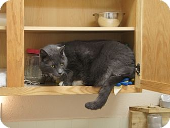 Domestic Shorthair Cat for adoption in Libby, Montana - Jiggers