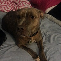 American Pit Bull Terrier Mix Dog for adoption in Hoffman Estates, Illinois - Tiger