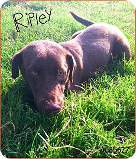 Labrador Retriever Mix Dog for adoption in Santa Fe, Texas - Ripley
