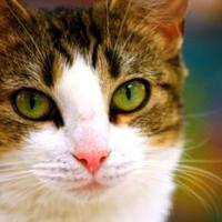 Domestic Shorthair/Domestic Shorthair Mix Cat for adoption in Mesa, Arizona - JESSEY
