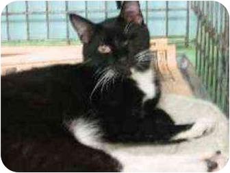 Domestic Shorthair Cat for adoption in New York, New York - Sammy