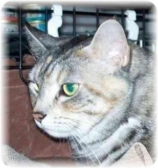 Domestic Shorthair Cat for adoption in Seattle c/o Kingston 98346/ Washington State, Washington - Callie