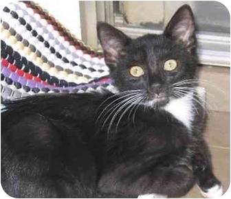 Domestic Shorthair Kitten for adoption in Warner Robins, Georgia - Bear