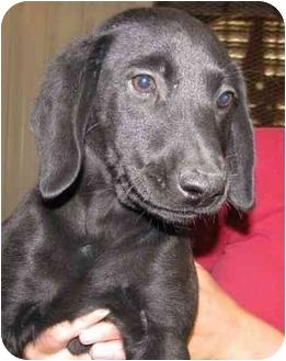 Labrador Retriever/Hound (Unknown Type) Mix Puppy for adoption in Largo, Florida - Turk