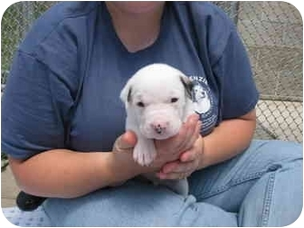 Boxer Mix Puppy for adoption in Lake Odessa, Michigan - Mahoney
