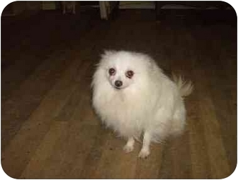 Spitz (Unknown Type, Small) Dog for adoption in Ft. Collins, Colorado - Millie