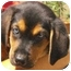 Photo 3 - Doberman Pinscher/Australian Shepherd Mix Puppy for adoption in Pisgah, Alabama - Russell