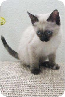 Siamese Kitten for adoption in Republic, Washington - Lampang