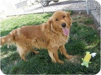 Golden Retriever Mix Dog for adoption in Meridian, Idaho - Cassidy