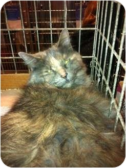 Maine Coon Cat for adoption in Pittstown, New Jersey - Scarlet