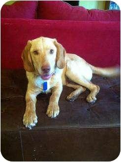 Labrador Retriever/Hound (Unknown Type) Mix Puppy for adoption in Arlington, Texas - Ranger