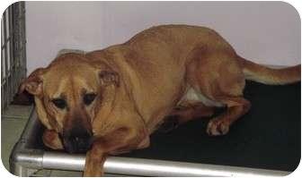 Labrador Retriever Mix Dog for adoption in Coudersport, Pennsylvania - MOLLY