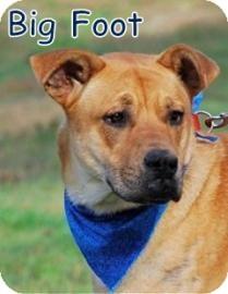 Labrador Retriever Mix Dog for adoption in Georgetown, South Carolina - Big Foot