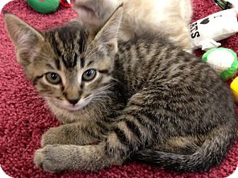 Domestic Shorthair Kitten for adoption in Walker, Louisiana - Fiona