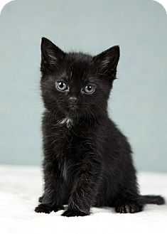 Domestic Shorthair Kitten for adoption in Randolph, New Jersey - Hercules