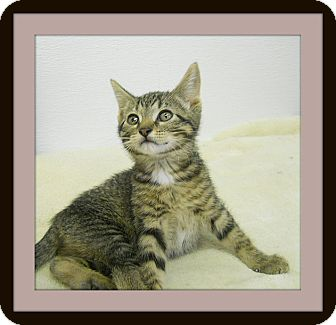 Domestic Shorthair Cat for adoption in Medford, Wisconsin - IZZY
