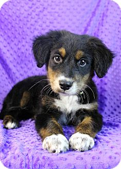 Bernese Mountain Dog Mix Puppy for adoption in Westminster, Colorado - Panettone