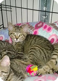 Domestic Shorthair Kitten for adoption in Speonk, New York - Quintus