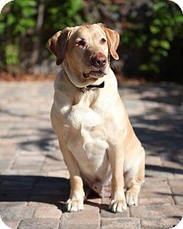 Labrador Retriever Dog for adoption in Largo, Florida - Sammy