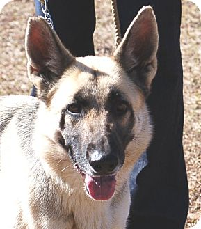 German Shepherd Dog Dog for adoption in Preston, Connecticut - Sandy#2