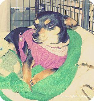 Chihuahua Dog for adoption in Buchanan Dam, Texas - Bobby Mcgee
